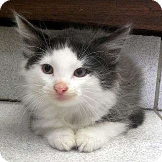 Domestic Longhair Kitten for adoption in Morristown, New Jersey - Licorice