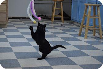 American Shorthair Cat for adoption in Hazard, Kentucky - Lucky
