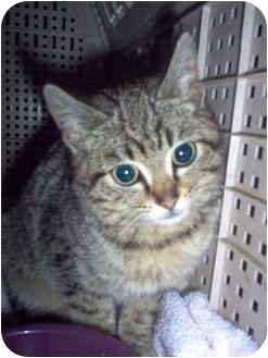 Domestic Shorthair Kitten for adoption in Nashville, Tennessee - Violet