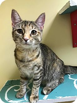 Domestic Shorthair Cat for adoption in Maryville, Missouri - ShyShy
