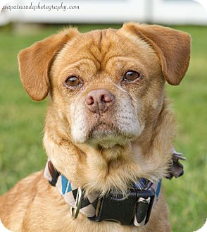 Pug/Beagle Mix Dog for adoption in Worcester, Massachusetts - Benny