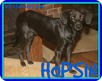 Dachshund/Chihuahua Mix Dog for adoption in Jersey City, New Jersey - HOPSIN
