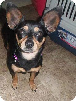 Chihuahua Mix Dog for adoption in WESTMINSTER, Maryland - Sasha