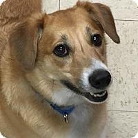 Sheltie, Shetland Sheepdog/Labrador Retriever Mix Dog for adoption in Grayslake, Illinois - Murphy