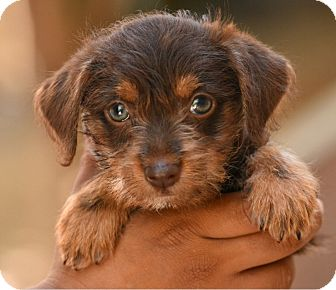 Terrier (Unknown Type, Small)/Chihuahua Mix Puppy for adoption in Los Angeles, California - Dallas