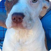 Adopt A Pet :: DIDI - Coudersport, PA