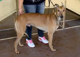 Greyhound Mix Dog for adoption in Tucson, Arizona - Vince 961