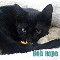 Adopt A Pet :: Bob Hope - Harrisville, WV