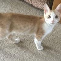Adopt A Pet :: Renee's Suvi - Yukon, OK