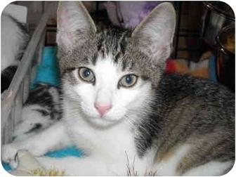 Domestic Shorthair Kitten for adoption in Riverside, Rhode Island - Winky