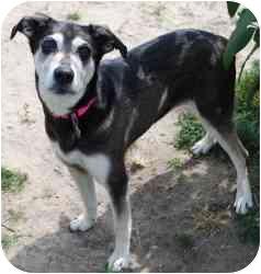 Siberian Husky/Shepherd (Unknown Type) Mix Dog for adoption in Vineland, New Jersey - Missy