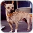 Photo 3 - Chihuahua Mix Dog for adoption in Old Bridge, New Jersey - Baxter