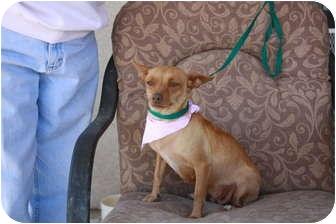 Chihuahua Dog for adoption in California City, California - Chrissy