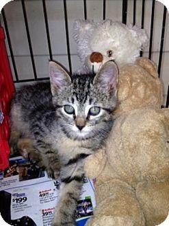 American Shorthair Kitten for adoption in Plainfield, Connecticut - Abigail