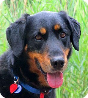 Labrador Retriever/Shepherd (Unknown Type) Mix Dog for adoption in Marseilles, Illinois - Barry