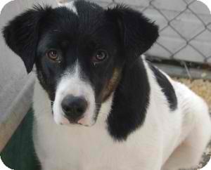 Border Collie/Australian Cattle Dog Mix Dog for adoption in Anza, California - Boo