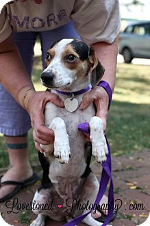 Beagle/Feist Mix Puppy for adoption in Buffalo, New York - Tulip