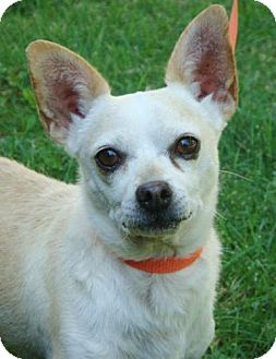 Chihuahua Mix Dog for adoption in Red Bluff, California - Nacho