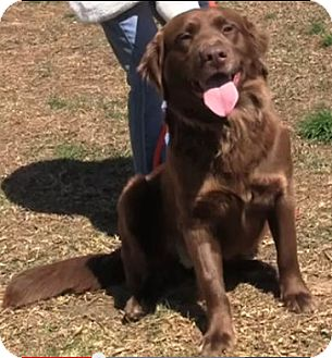 Labrador Retriever/Golden Retriever Mix Dog for adoption in New Canaan, Connecticut - Brooklyn