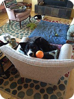 Border Collie Dog for adoption in Glenrock, Wyoming - Hank