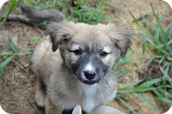 Border Collie/Australian Shepherd Mix Puppy for adoption in New Boston, New Hampshire - Billie