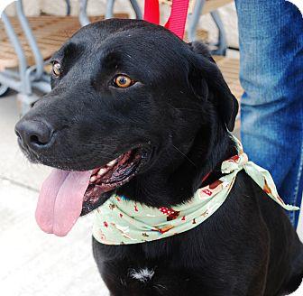 Labrador Retriever Mix Dog for adoption in White Settlement, Texas - Zorro-adoption pending