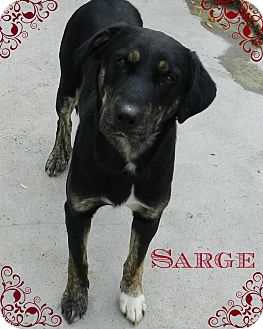 Labrador Retriever/Shepherd (Unknown Type) Mix Dog for adoption in Lawrenceburg, Tennessee - Sarge
