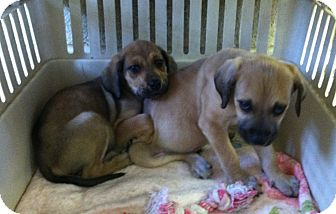 Hound (Unknown Type) Mix Puppy for adoption in Greensburg, Pennsylvania - Mo