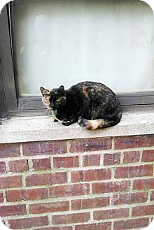 Domestic Shorthair Cat for adoption in Cranford, New Jersey - URGENT! - Munchkin