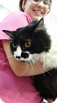 Maine Coon Cat for adoption in Fort Riley, Kansas - Stanley