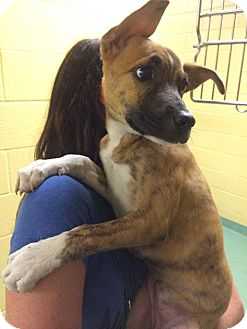 Dutch Shepherd/Boxer Mix Puppy for adoption in Chicago, Illinois - AUBREY