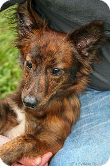 Pomeranian Mix Dog for adoption in Detroit, Michigan - Reesie