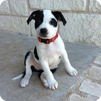 Australian Cattle Dog/Border Collie Mix Puppy for adoption in Austin, Texas - Luxor