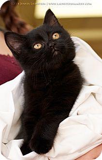 Domestic Mediumhair Kitten for adoption in Pincher Creek, Alberta - Olive