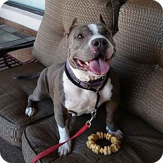 American Pit Bull Terrier Dog for adoption in Mesa, Arizona - Angel