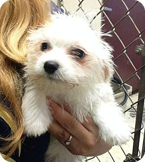 Terrier (Unknown Type, Small)/Terrier (Unknown Type, Medium) Mix Puppy for adoption in Greensburg, Pennsylvania - Corbett