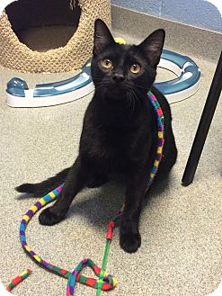 Domestic Shorthair Cat for adoption in Germantown, Tennessee - Panther
