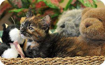 Domestic Shorthair Cat for adoption in Satellite Beach, Florida - Melinda