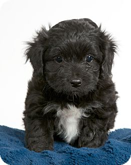 Poodle (Miniature)/Pomeranian Mix Puppy for adoption in Nuevo, California - Darcy