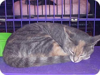 Calico Kitten for adoption in Wilmore, Kentucky - Molly