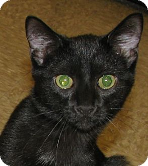 Domestic Shorthair Kitten for adoption in Tulsa, Oklahoma - Magic
