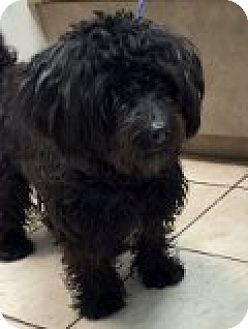 Poodle (Miniature) Mix Dog for adoption in Las Vegas, Nevada - Osito