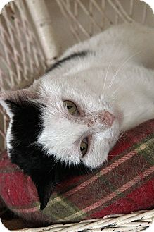 Domestic Shorthair Cat for adoption in St. Louis, Missouri - Duke Ellington