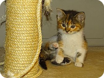 Calico Kitten for adoption in Taylor Mill, Kentucky - Luna-Beautiful baby b-day Mar9