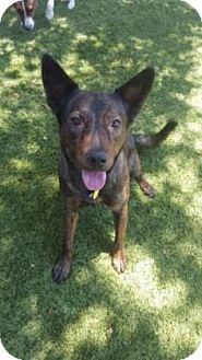 Australian Kelpie Mix Dog for adoption in Scottsdale, Arizona - Sheldon