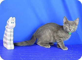 Domestic Shorthair Kitten for adoption in Carencro, Louisiana - Maddox