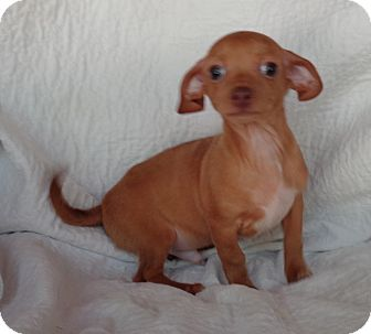 Dachshund/Chihuahua Mix Puppy for adoption in Crump, Tennessee - Willie