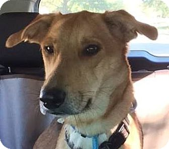 Shepherd (Unknown Type) Mix Dog for adoption in Kansas City, Missouri - Maxine
