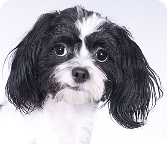 Shih Tzu Mix Dog for adoption in Chicago, Illinois - Vera