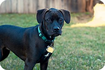 American Pit Bull Terrier Mix Puppy for adoption in Lincoln, California - PUPPY - Buffy!!